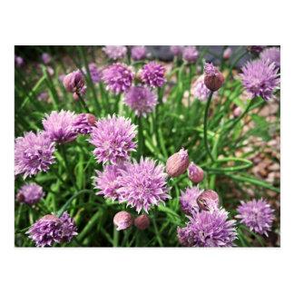 Cartão Postal Flores do Allium