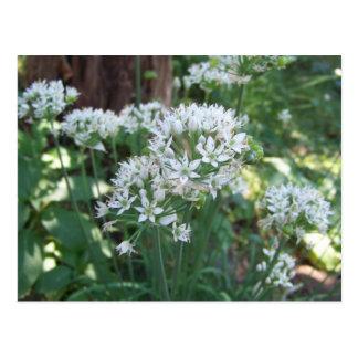 Cartão Postal Flores do cebolinho