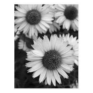 Cartão Postal Flores do cone - margarida - em preto e branco