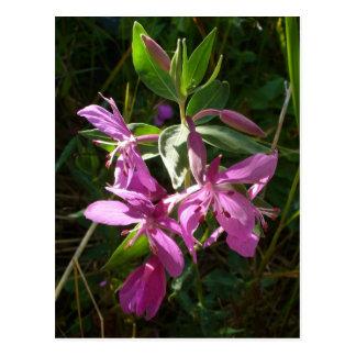 Cartão Postal Flores do Fireweed do anão, ilha de Unalaska