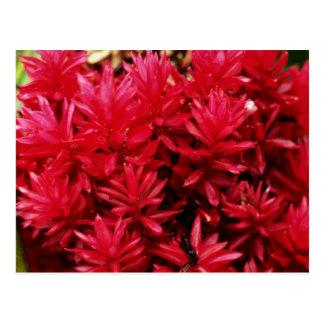 Cartão Postal Flores do gengibre, flores de Puerto Rico