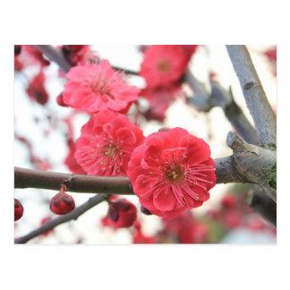 Cartão Postal flores do rosa do primavera da flor da ameixa