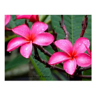 Cartão Postal Flores exóticas, Frangipani em Singapore botânico…