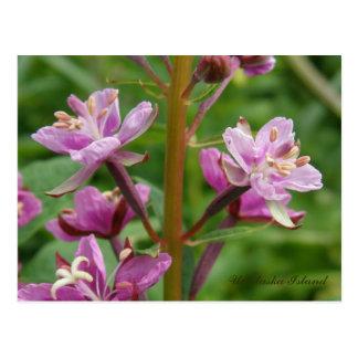 Cartão Postal Flores Variegated Fireweed, ilha de Unalaska
