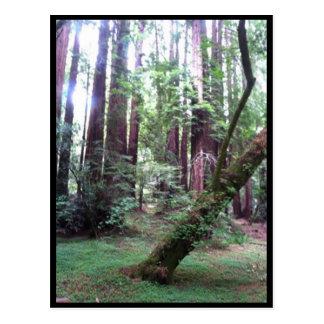 Cartão Postal Floresta da sequóia vermelha