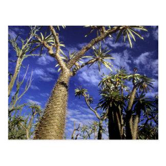 Cartão Postal Floresta espinhoso formada de árvores de