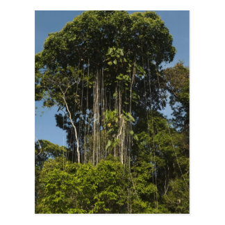 Cartão Postal Floresta húmida Guyana da borda do rio de Rewa