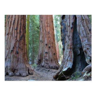 Cartão Postal Florestas da árvore das sequóias