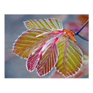 Cartão Postal folhas da faia de cobre