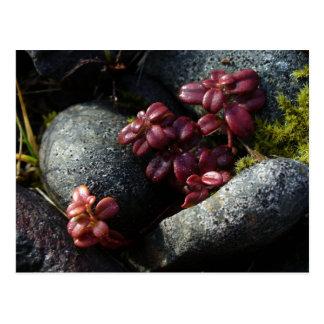 Cartão Postal Folhas do Lingonberry - cores do outono, Unalaska