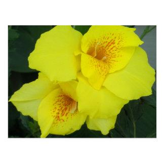 Cartão Postal Foto amarela da flor dos lírios de Cannas Canna