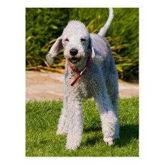 Cartão Postal Foto bonita bonito do cão de Bedlington Terrier