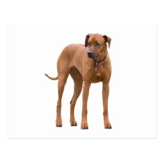Cartão Postal Foto bonita do cão de Rhodesian Ridgeback