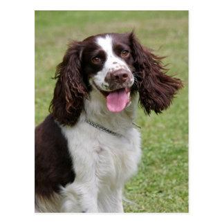 Cartão Postal Foto bonita do cão do Spaniel de Springer inglês