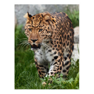 Cartão Postal Foto do leopardo