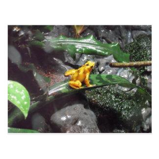 Cartão Postal Foto do sapo do dardo do veneno