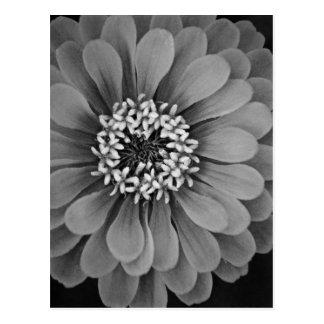 Cartão Postal Foto preto e branco da flor