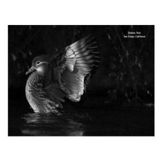 Cartão Postal Foto preto e branco dramática do pato de mandarino