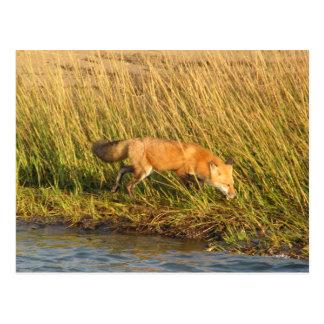 Cartão Postal Fotografia do Fox vermelho