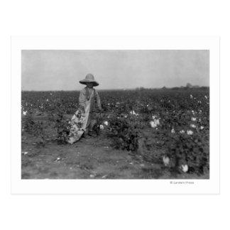 Cartão Postal Fotografia ocidental, Texas do algodão da colheita