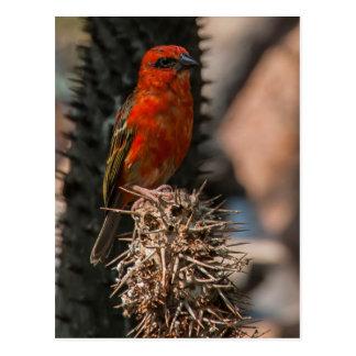 Cartão Postal Foudy vermelho (Foudia Madagascariensis)
