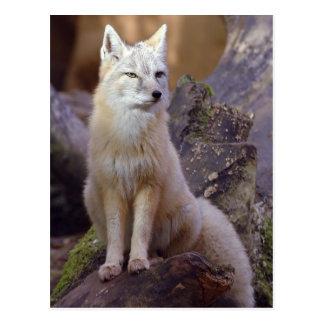 Cartão Postal Fox de Corsac