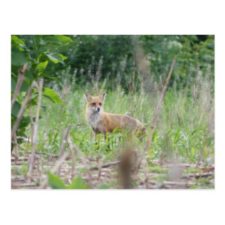 Cartão Postal Fox vermelho