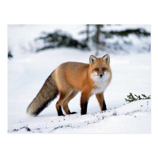 Cartão Postal Fox vermelho na neve