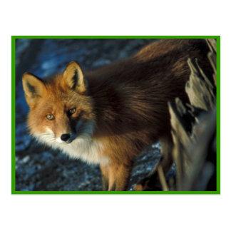 Cartão Postal Fox vermelho no Shipwreck Courtney Ford
