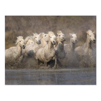 Cartão Postal France, Provence. Funcionamento branco dos cavalos