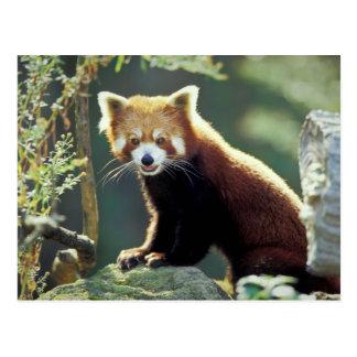 Cartão Postal Fulgens do Ailurus da panda vermelha)