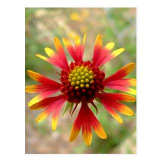 Cartão Postal Gaillardia do wildflower do deserto de