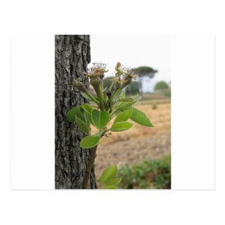 Cartão Postal Galho da árvore de pera com os botões no primavera