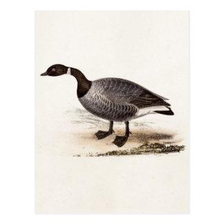 Cartão Postal Ganso de Brent dos 1800s do vintage - modelo retro