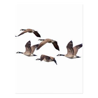 Cartão Postal Gansos em vôo