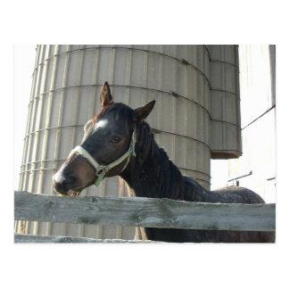 Cartão Postal Garanhão/cavalo pretos