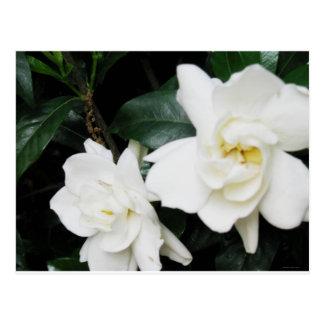 Cartão Postal Gardenias