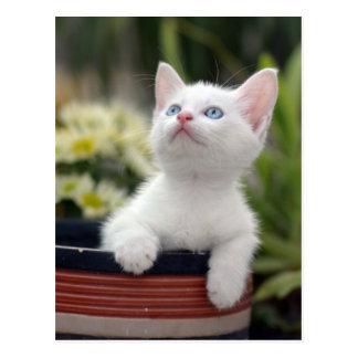 Cartão Postal Gatinho branco turco