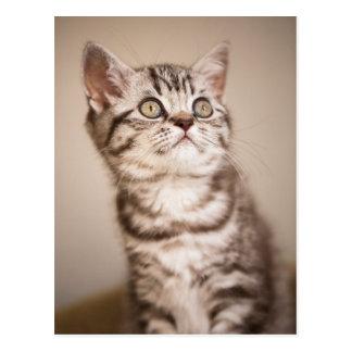 Cartão Postal Gatinho britânico cinzento bonito do cabelo curto