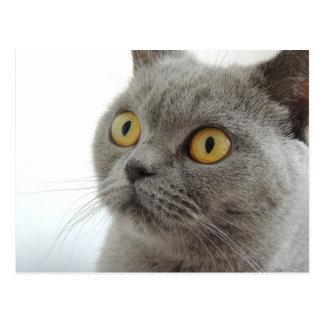 Cartão Postal Gato cinzento bonito