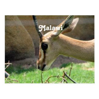 Cartão Postal Gazela de Malawi