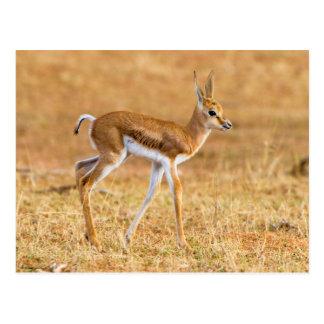 Cartão Postal Gazela recentemente nascida (Marsupialis do