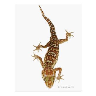 Cartão Postal Geco à terra de Madagascar (pictus de Paroedura)