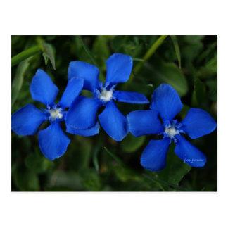 Cartão Postal genciana azuis
