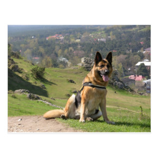 Cartão Postal German shepherd
