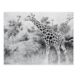Cartão Postal Girafa