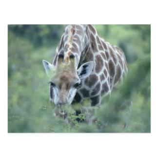 Cartão Postal Girafa (camelopardalis do Giraffa) que alimenta