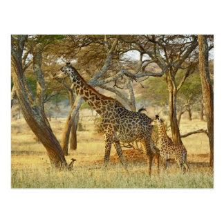 Cartão Postal Girafa da fêmea adulta e do juvenil, Giraffa