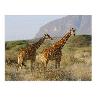 Cartão Postal Girafa somaliano, girafa Reticulated, Giraffa