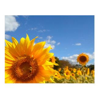 Cartão Postal Girassóis e luz do sol